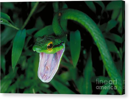 Costa Rican Canvas Print - Parrot Snake by Gregory G. Dimijian