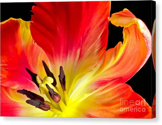 Parrot Tulip On Fire Canvas Print