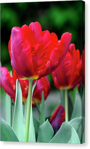 Rococo Art Canvas Print - Parrot Tulip (tulipa 'rococo') by Brian Gadsby/science Photo Library