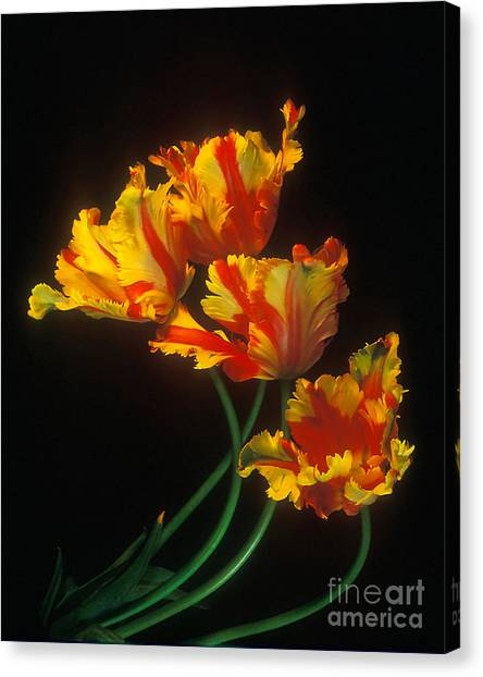 Parrot Tulips On Easter Morning Vertical Canvas Print