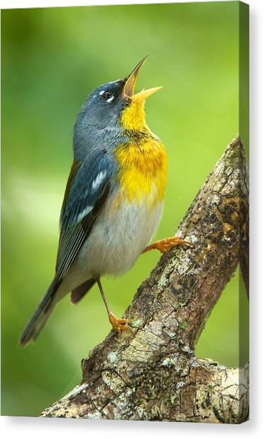 Parula Song Canvas Print