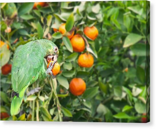 Pasadena Parrot Canvas Print