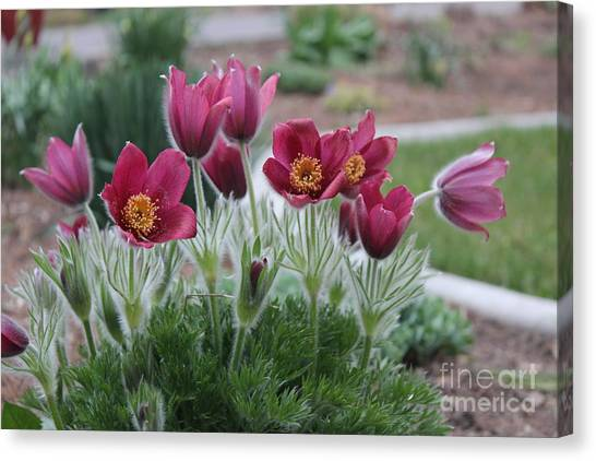 Pasque Flowers Canvas Print