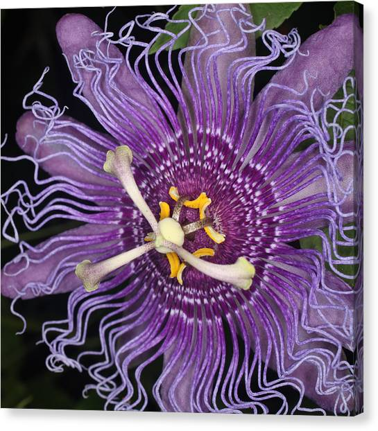 Passion Flower Canvas Print by Jeff Wright