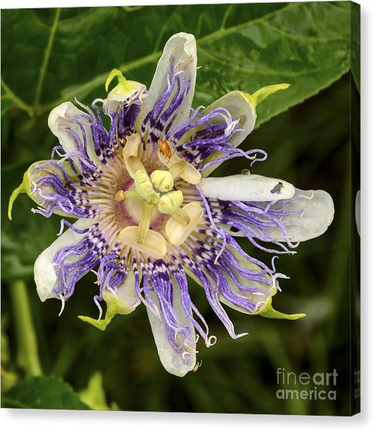 Passionflower In Blueberry Patch Canvas Print