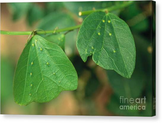 Passionfruit Canvas Print - Passionflower Leaves by Gregory G. Dimijian, M.D.