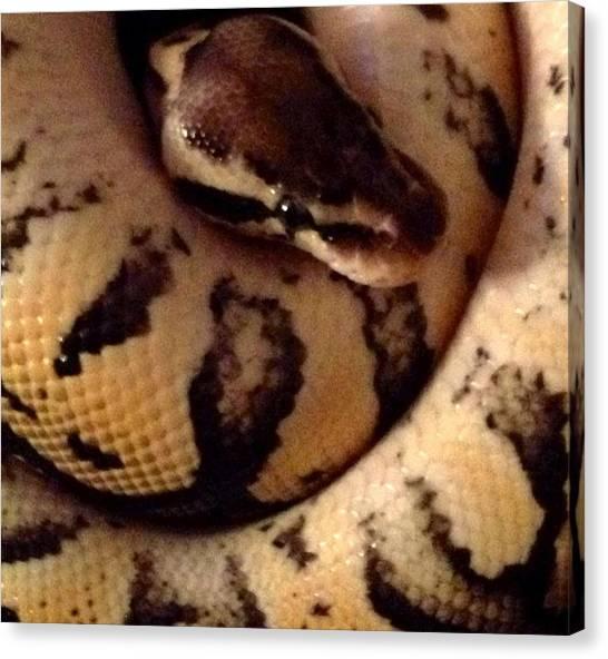 Ball Pythons Canvas Print - Pastel Ball Python Male by Sierra Andrews