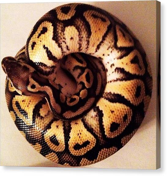 Ball Pythons Canvas Print - Pastel Het Ghost Ball Python Snake 3 by Sierra Andrews