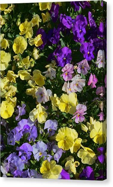 Pastel Pansies Canvas Print