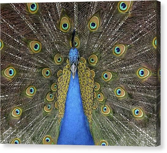 Patient Peacock Canvas Print