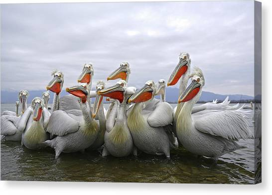 Pelicans Canvas Print - Pay Attention Pleaseeeeeeeee by Julio Lozano Brea