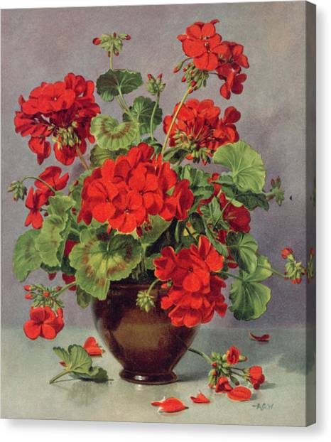 Geraniums Canvas Print - Geranium In An Earthenware Vase by Albert Williams