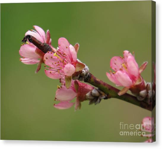 Peach Blossoms II Canvas Print