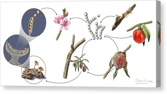 Peach Brown Rot Life-cycle Canvas Print by Nicolle R. Fuller/science Photo Library
