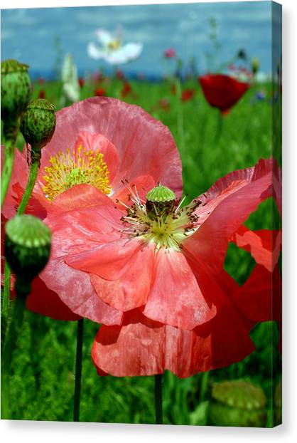 Peach Poppy Pods Canvas Print