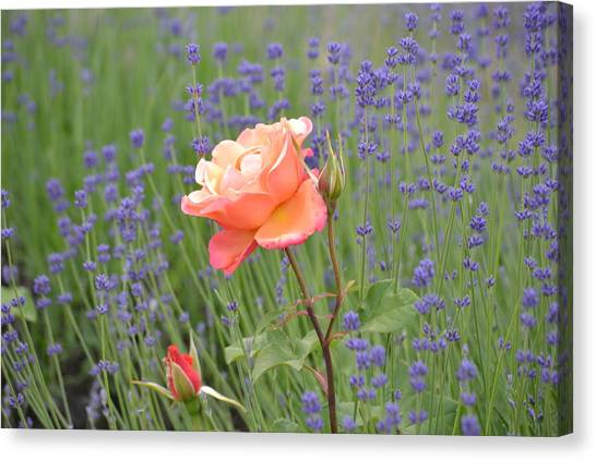 Peach Roses In A Lavender Field Of Flowers Canvas Print