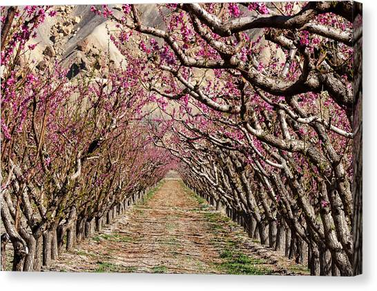 Peach Tree Tunnel Canvas Print