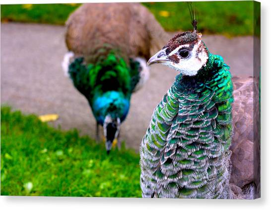 Peacock 4 Canvas Print