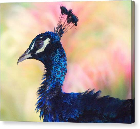 Peacock And Pink Canvas Print by DerekTXFactor Creative