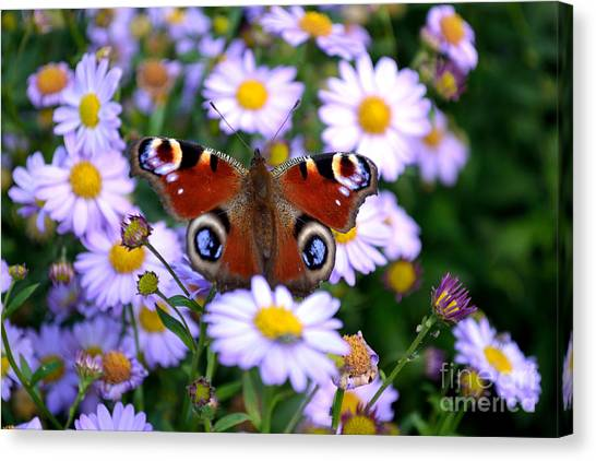 Canvas Print featuring the photograph Peacock Butterfly Perched On The Daisies by Scott Lyons