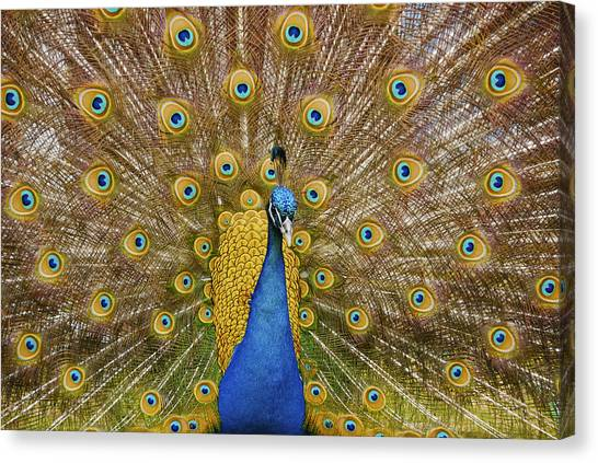 Peacock Courting Canvas Print