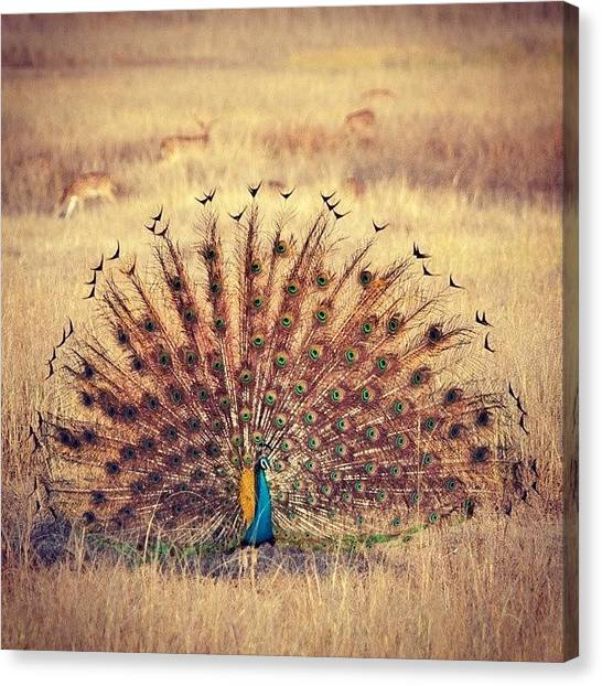 Peacocks Canvas Print - Peacock Courtship by Hitendra SINKAR