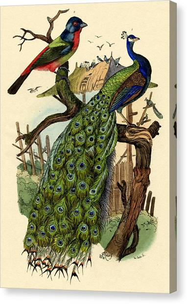 Peacock Canvas Print - Peacock by French School