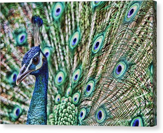 Peacock Canvas Print by Karen Walzer