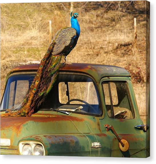 Peacock On Old Gmc Truck 3 Canvas Print