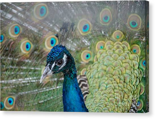 Peacock Portrait Canvas Print