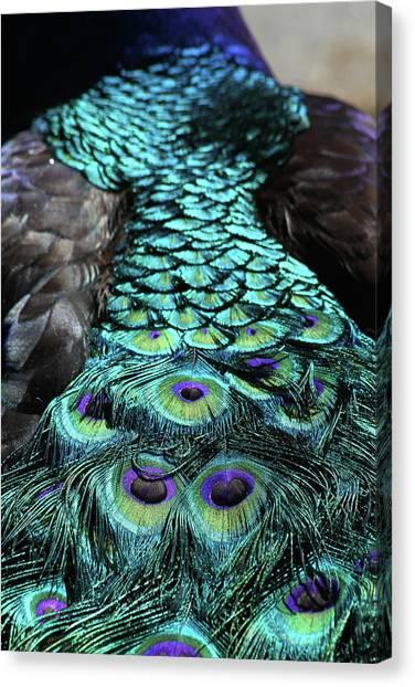 Peacock Trail Canvas Print