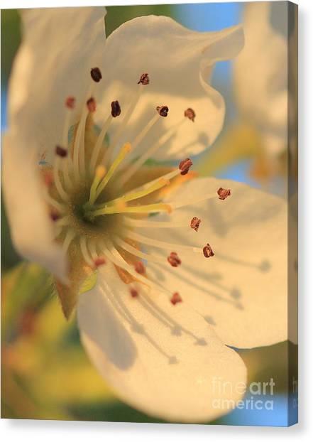 Pear Blossom Canvas Print
