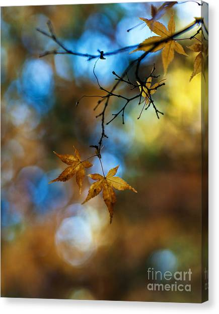 Ace Canvas Print - Pearlescent Acers by Mike Reid