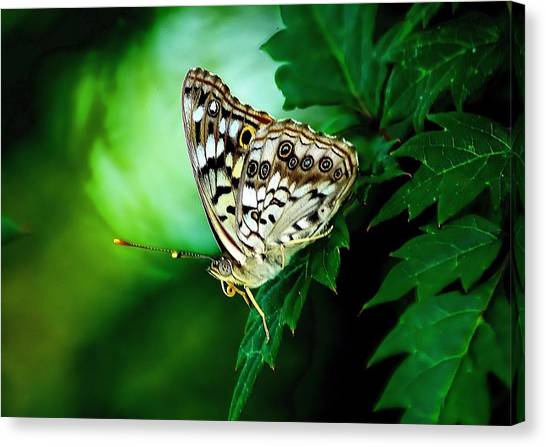 Pearly-eye Butterfly Canvas Print