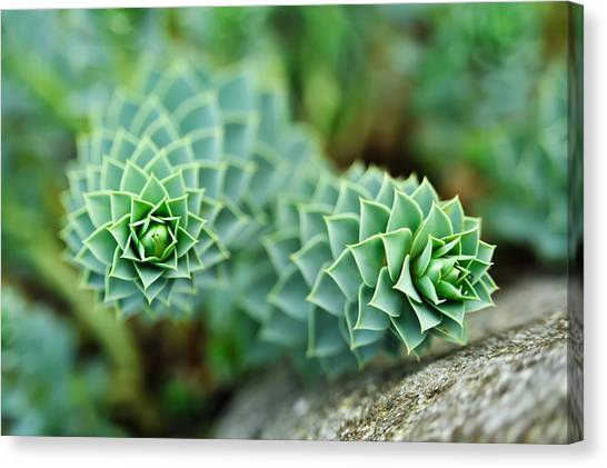 Pearly Succulents Canvas Print