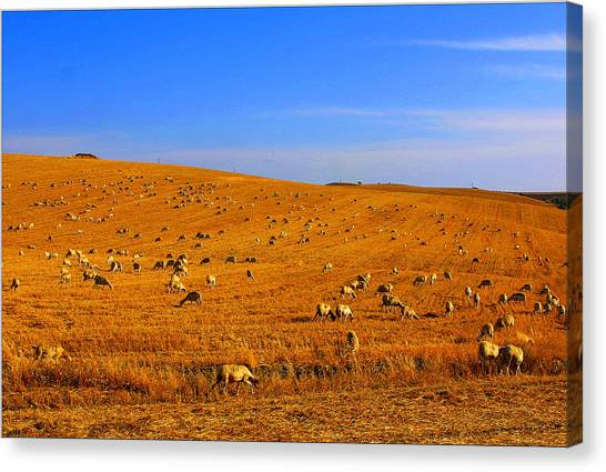 Sheep Grazing Canvas Print