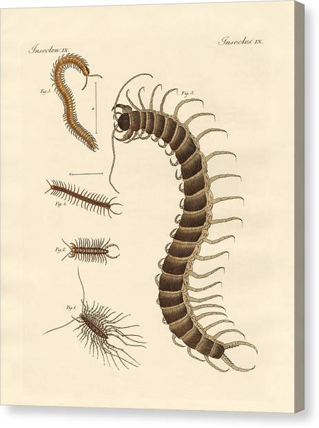 Centipedes Canvas Print - Peculiar Insects by Splendid Art Prints