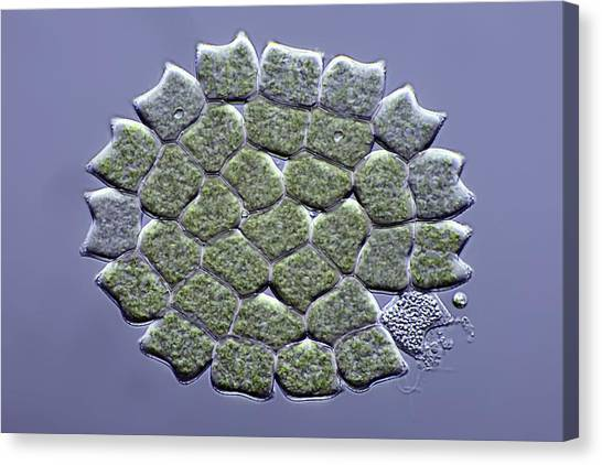 Pediastrum Green Algae, Micrograph Canvas Print by Science Photo Library