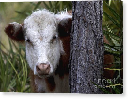 Peek A Moo Canvas Print