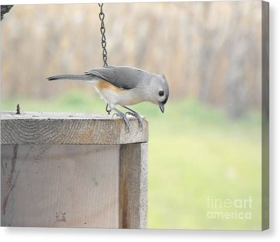 Peeking Chickadee Canvas Print
