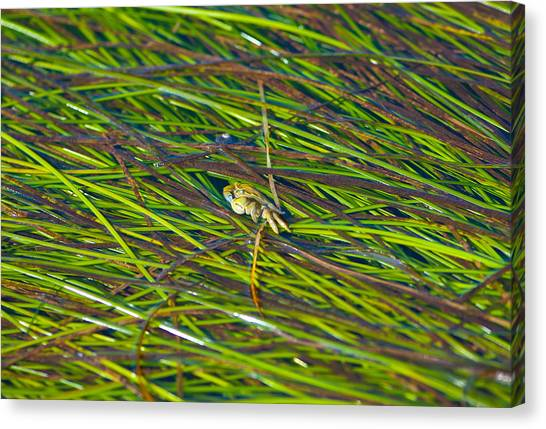 Peeking Crab Canvas Print by Sarah Crites
