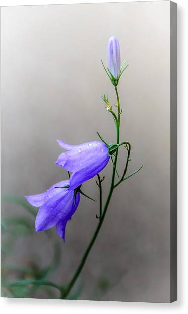 Blue Bells Peeking Through The Mist Canvas Print