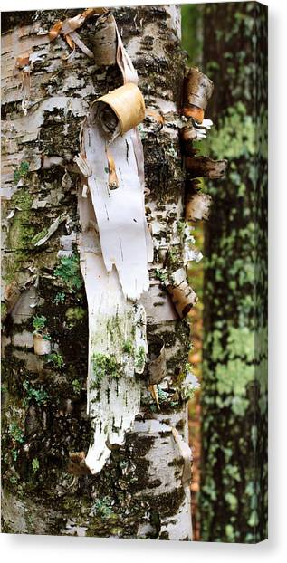 Peeling Birch Canvas Print