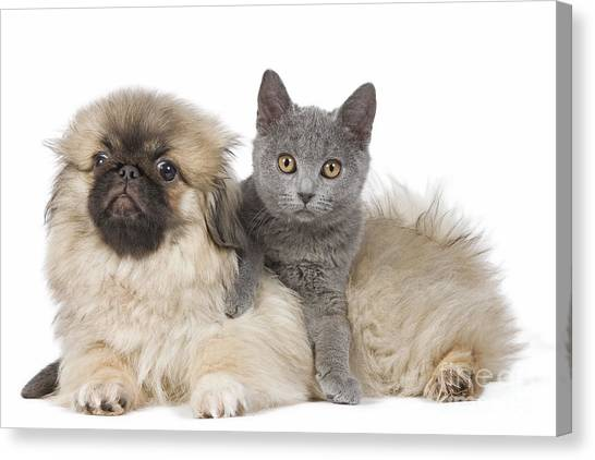 Chartreuxes Canvas Print - Pekingese Puppy And Kitten by Jean-Michel Labat