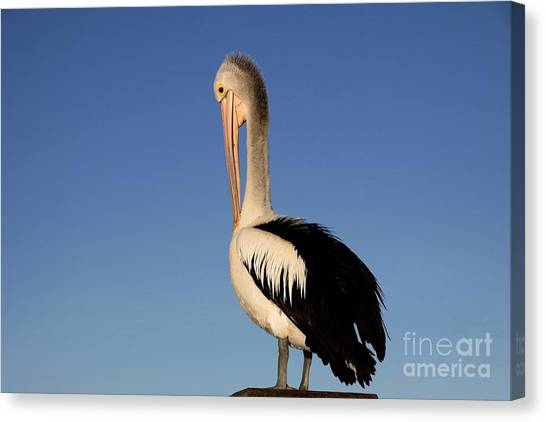 Pelican Alone Canvas Print