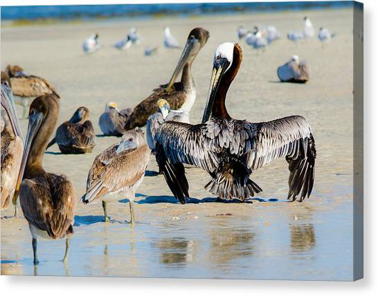 Pelican Drying Canvas Print