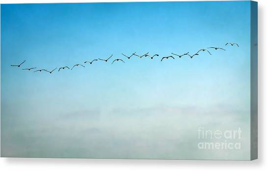 Pelican Flight Line Canvas Print