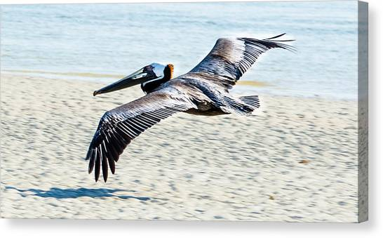 Pelican Flying Canvas Print