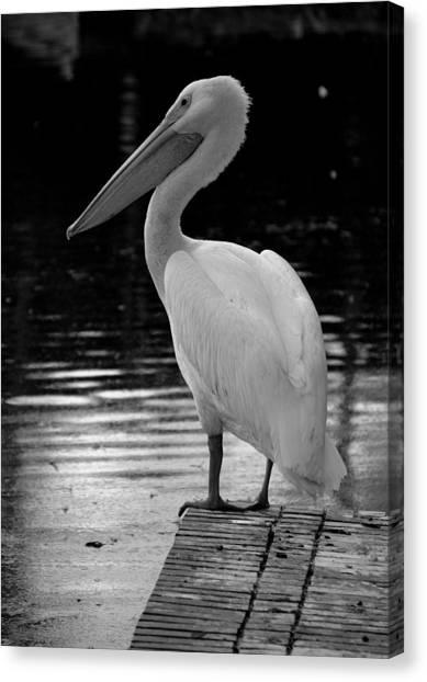 Pelican In The Dark Canvas Print