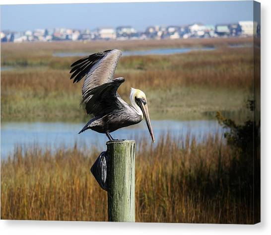 Pelican In The Marsh Canvas Print by Paulette Thomas